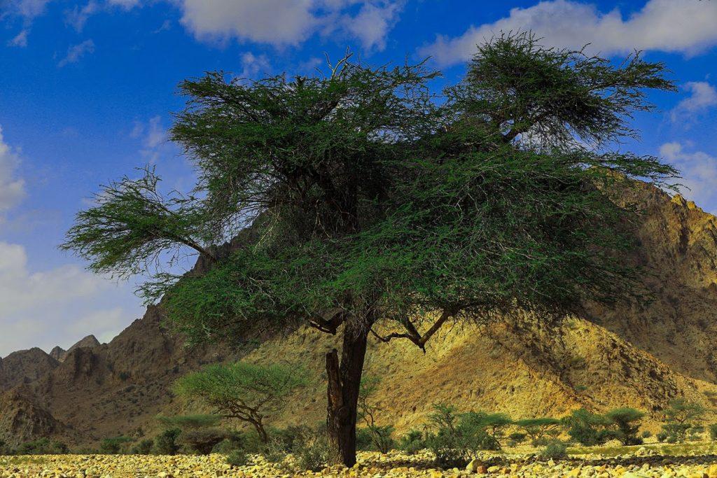 An acacia tree in the Gebel Elba National Park - Photograph - ©Sherif Lofty 2018